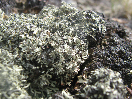 Lichens are coral of the boreal 2